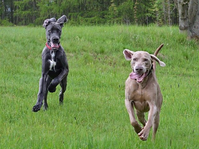 Facts About Large Dog Breeds